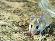 A spiny mouse. (Image via Wikimedia)