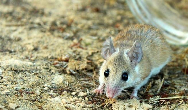 A spiny mouse. (Image via Wikimedia)